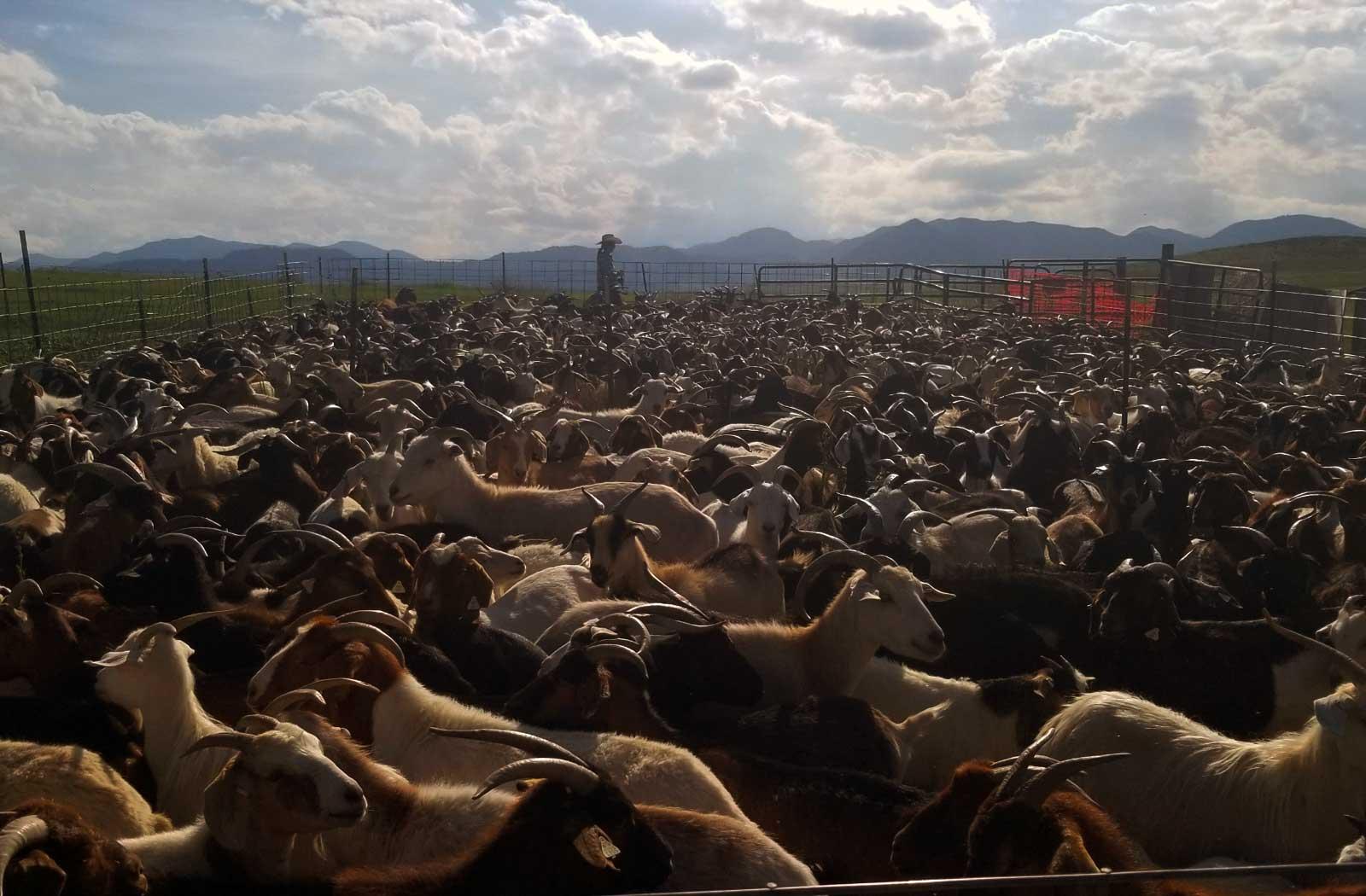 Goatapeli systematic goat grazing colorado