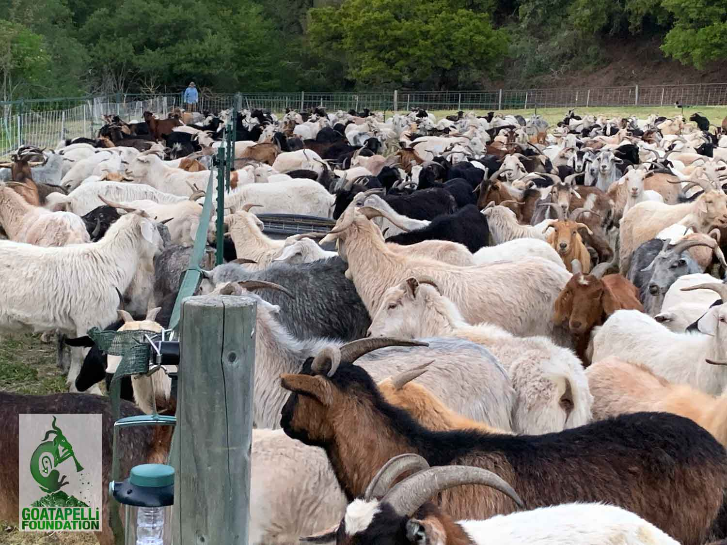 Goats to the Rescue for Fire Fuel Reduction