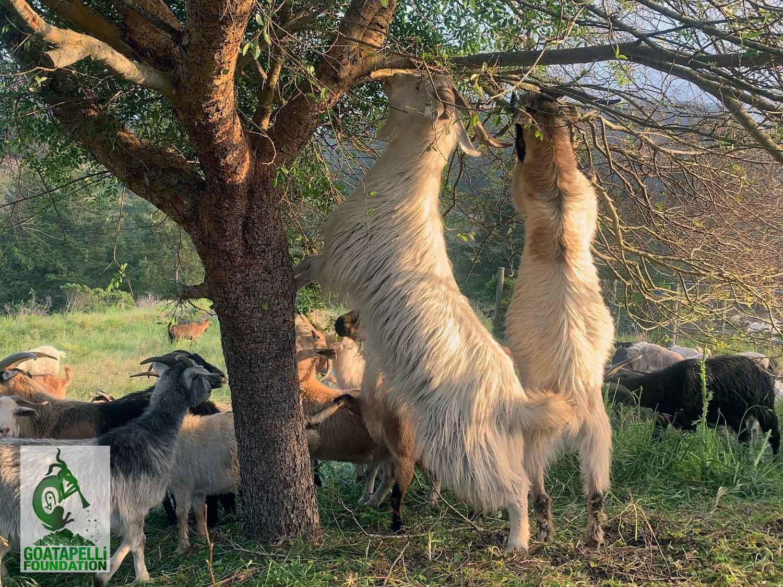 Goatapelli Foundation's Lani Malmberg Interview