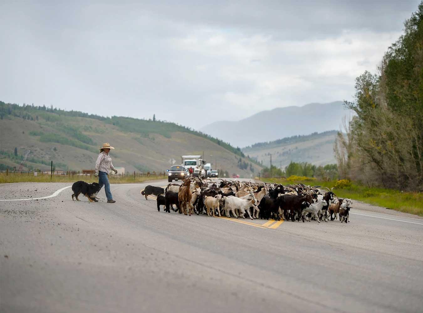 press new york times wildfire goats prevention goatapelli lani malmerg